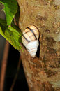 Snail on Tree Bark Royalty Free Stock Image