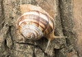 Snail on tree bark studio shot Royalty Free Stock Image