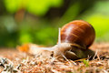 Snail in the woods Royalty Free Stock Images