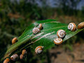 Snails on a Leaf Royalty Free Stock Photo