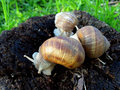 Snails three snail on a tree bole Stock Photography
