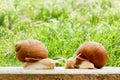 Snails two big spring summer garden fresh grass