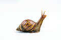 Snails on white background Royalty Free Stock Photo