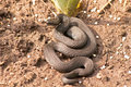 Snake black adder laying on the ground Stock Photo