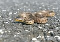 A snake this is called twin spotted rat in english and its decorative pattern is fancy Royalty Free Stock Photos