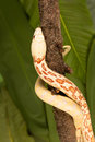 Snake climbing up beautifull female bullsnake going on a tree branch Stock Images