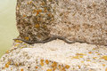 Snake crawling to water shelly limestone Stock Photo