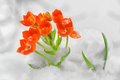 Snake flower – ornithogalum dubium in the snow Stock Photo