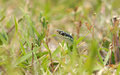 Snake in the grass close up of a common garter slithering through taken at ground level Royalty Free Stock Image