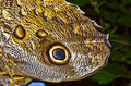 Snake Head Butterlfy - (Owl Butterfly) Royalty Free Stock Photo