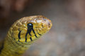 Snake head closeup of in costa rica Stock Image