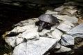 Snake-necked turtle Royalty Free Stock Photo