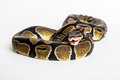 Snake royal python the ball also known for its characteristic shape if disturbed or frightened hiding his head between the coils Royalty Free Stock Photo