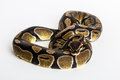 Snake royal python the ball also known for its characteristic shape if disturbed or frightened hiding his head between the coils Stock Images