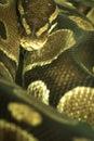 Snake's head Royalty Free Stock Photo