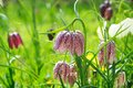 Snake s head fritillary british wild meadow flower apr Royalty Free Stock Photography