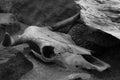 The snake skeleton head skeleton death snake bone skull background animal black white isolated