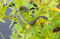 Snake sunning itself on a shrub Royalty Free Stock Photo