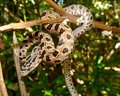 Snake in a tree- Peninsular (Green) Rat Snake Stock Photos