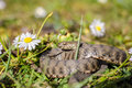 Snake viper is in the meadow with daisy Royalty Free Stock Images