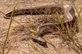 Snakes slither in the grass Royalty Free Stock Photo