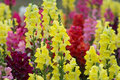 Snap dragon antirrhinum majus blooming in garden Stock Images