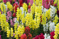 Snap dragon antirrhinum majus blooming in garden Stock Image