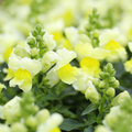 Snapdragon or antirrhinum yellow flowers in the garden Stock Image
