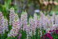 Snapdragon beautiful crimson antirrhinum flower Stock Photography