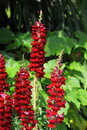 Snapdragon flower cluster of red blooming Stock Photography