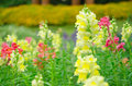 Snapdragon flower in garden park at the king royal flora ratchapruek chiangmai thailand Stock Photography