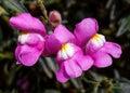 Snapdragon flower pink petals macro Stock Photo