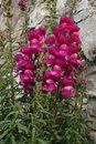 Snapdragon flowering plant of common Royalty Free Stock Photo