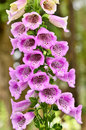Snapdragon flowers beauty pattern pink Royalty Free Stock Photos