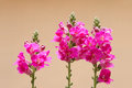 Snapdragon flowers the close up of scientific name antirrhinum majus Royalty Free Stock Photos