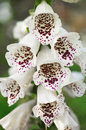 Snapdragon flowers white closeup into Stock Photo