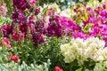 Snapgragon plant