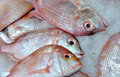 Snapper fish raw selling in market with ice for fresh Stock Images