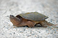 Snapping turtle common crawling in the sand Stock Photography