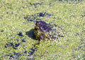Snapping turtle in duckweed Stock Photography
