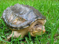 Snapping Turtle in Grass Royalty Free Stock Image