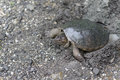 Snapping turtle looking for nesting site Stock Photo