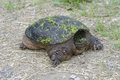 Snapping turtle looking for nesting site Stock Images