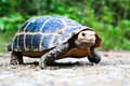 Snapping turtle the in nature Stock Photography