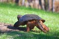 Snapping turtle walking away across a grass field Royalty Free Stock Images
