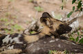 Snarl a wild dog wakes up on the wrong side of the bed Royalty Free Stock Images