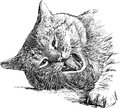Snarling cat vector drawing of the angry domestic Stock Images