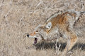 Snarling Coyote Stock Images