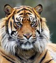 Snarling Siberian Tiger Royalty Free Stock Photo