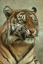 Snarling Sumatran Tiger Royalty Free Stock Images